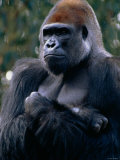 Gorilla Sitting with Arms Crossed over His Chest Photographic Print