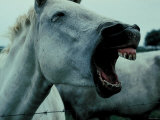 Screaming White Horse in Camargue, Rhone River, France Photographic Print