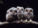 Screech Owlets Sitting on Tree Branch Photographic Print