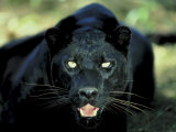Close Up of Wild Black Leopard Showing Teeth Photographic Print