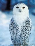 Snowy Owl Standing in Snow Reprodukcja zdjęcia