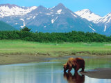 Grizzly Bear Drinking from Stream in Valley Amongst Snow-Capped Mountains Photographic Print