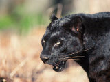 Close Up of Black Panther in Wild Photographic Print