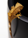 Small Scaley and Crested Gecko Lizard Climbing Lmina fotogrfica