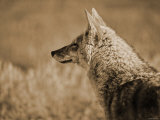 Coyote in the Wild Photographic Print