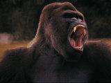 Black Gorilla Showing Teeth Photographic Print