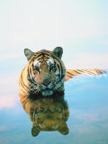 Bengal Tiger Wading Through Water with Reflection in Glassy Surface Photographic Print