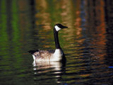 Canada Goose Swimming in Water Photographic Print