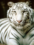 Close Up of Siberian Tiger in the Wild Photographic Print