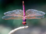 Dragonfly Perched on Edge of a Stick Photographic Print