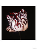 Parrot Tulip Study in Red Prints by Hampton Hall