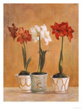 Amaryllis in Pots Giclee Print by Hampton Hall