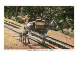Pikes Peak, Colorado, View of a Mule that Helped Build the Pikes Peak Railroad Posters by  Lantern Press