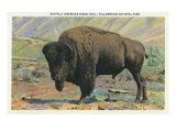 View of a Buffalo, Yellowstone National Park, Wyoming Posters