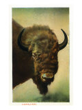 View of a Buffalo Head, Yellowstone National Park, Wyoming Art