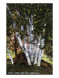 Lake Winnipesaukee, New Hampshire, View of Birch Trees near the Weirs Poster