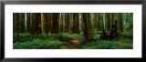 Sequoias Posters by Alain Thomas