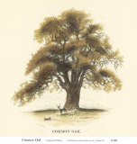 Common Oak Print by Samuel Williams