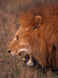 Male Lion, Masai Mara, Kenya Fotografisk tryk af Dee Ann Pederson