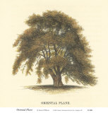 Oriental Plane Print by Samuel Williams