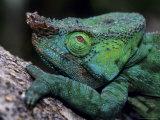 Chameleons in the Analamazaotra National Park, Madagascar Fotografie-Druck von Daisy Gilardini