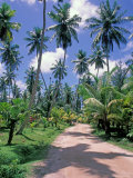 Palm Tree Lined Road of L'Union Estate Plantation, Seychelles Photographic Print by Nik Wheeler