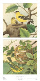 Goldfinch & Warbler Posters par John Gould