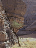 Acacia Spinosa Plant, Sahara Photographic Print by Michele Molinari