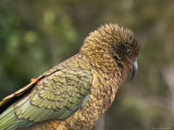 Kea, New Zealand Alpine Parrot, South Island, New Zealand Stampa fotografica di David Wall