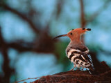 Common Hoopoe in Bandhavgarh National Park, India Reproduction photographique par Dee Ann Pederson