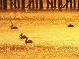 Sunrise and Pelicans by Urangan Pier, Hervey Bay, Queensland, Australia Papier Photo par David Wall