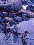 Gentoo Penguin, Antarctica Photographic Print by Joe Restuccia III