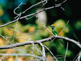 Green Bee-eater in Bandhavgarh National Park, India Photographie par Dee Ann Pederson