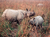 Indian Rhinoceros in Kaziranga National Park, India Photographic Print by Dee Ann Pederson