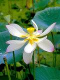 Lily Blossom, Barbados, Caribbean Fotografie-Druck von Robin Hill