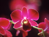 Orchid, Malaysia Photographic Print by Michele Molinari
