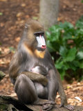 Mandrill Mother and Baby, Australia Photographic Print by David Wall