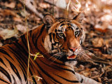 Bengal Tiger in Bandhavgarh National Park, India Fotografie-Druck von Dee Ann Pederson