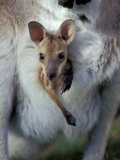 Red-necked Wallaby Joey in Pouch, Bunya Mountain National Park, Australia Photographic Print by Theo Allofs