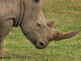 White Rhinoceros, Australia Photographic Print by David Wall