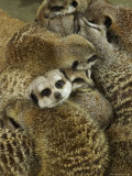 Meerkat Protecting Young, Australia Photographic Print by David Wall