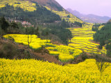 Terraced Fields of Yellow Rape Flowers, China Photographic Print by Charles Crust