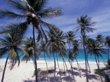 Palm Trees on St. Philip, Barbados, Caribbean Photographic Print by Stuart Westmoreland
