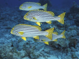 Oriental Sweetlips, Maldives Photographic Print by Stuart Westmoreland