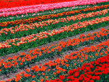 Tulip Fields, Southland, New Zealand Photographic Print by David Wall