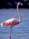 Pink Flamingo on Lake Goto Meer, Bonaire, Caribbean Photographic Print by Greg Johnston