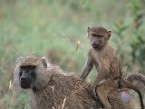Mother and Young Olive Baboon, Tanzania Fotografisk tryk af Dee Ann Pederson