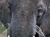 Close-up of African Elephant Trunk, Tanzania Fotografisk tryk af Dee Ann Pederson