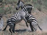 Fighting Burchell's Zebra, Serengeti, Tanzania Fotografie-Druck von Dee Ann Pederson