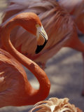 Adastra Gardens, Pink Flamingo, Nassau, Bahamas, Caribbean Photographic Print by Greg Johnston